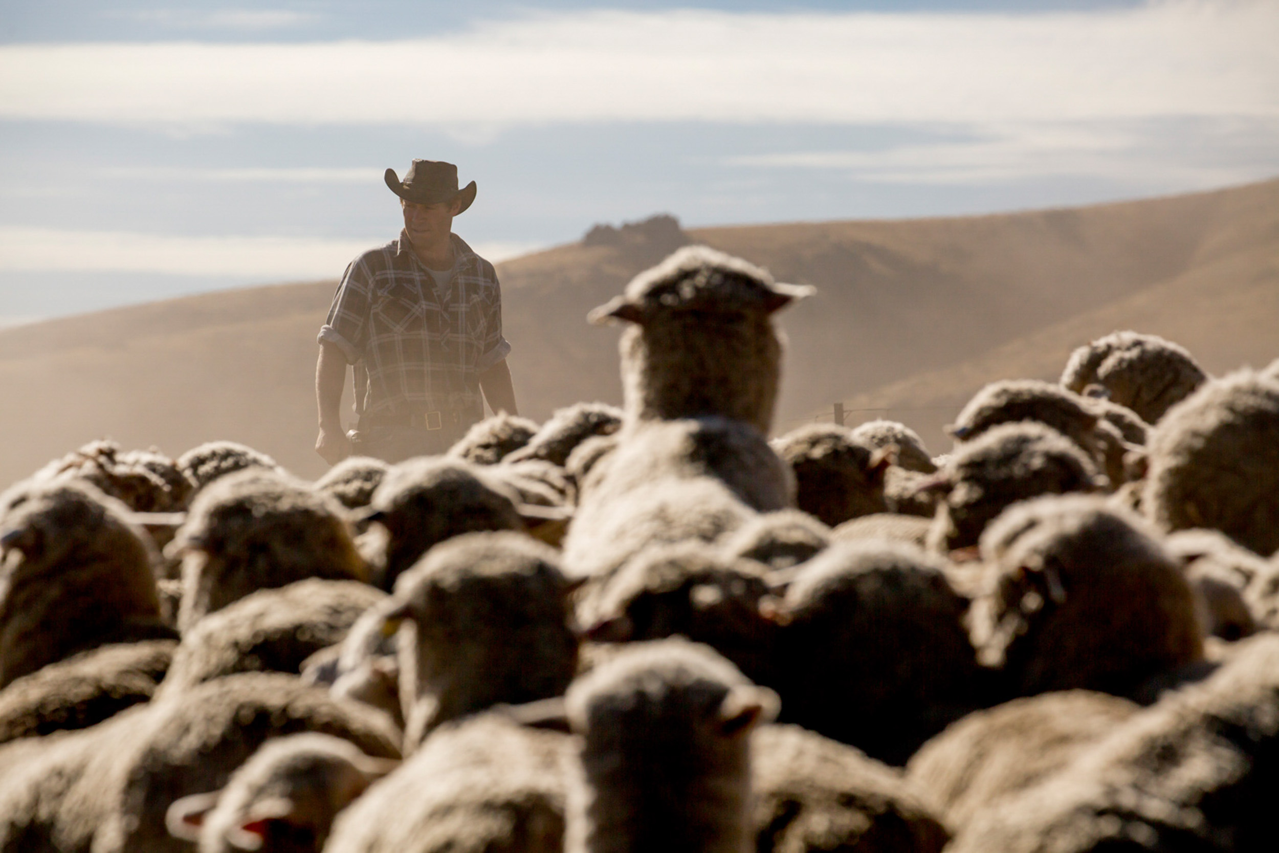 Merino sheep Farmer for Icebreaker