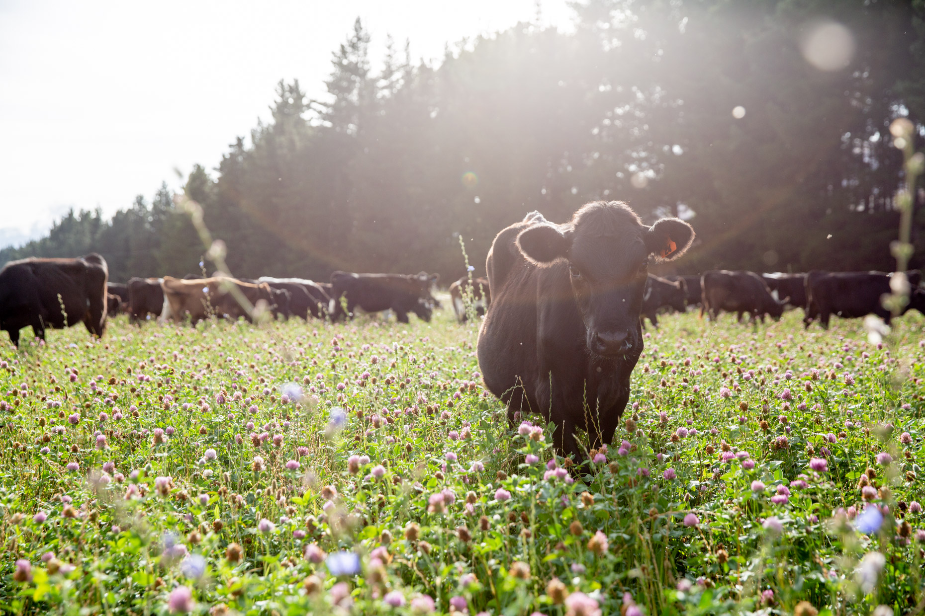 Dairy cows on multi species pasture